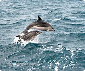 Dolphins-Jump-Ocean-Play